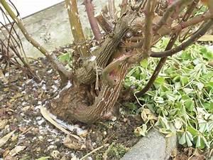 Wann Schneidet Man Rosen : verholzen von rosen abh ngig von was mein sch ner ~ Lizthompson.info Haus und Dekorationen