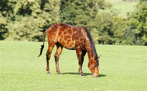 giraffe horse short horses neck legs dressed animals looks markings september pursuit happiness liberty