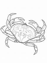 Crab Coloring Pages Dungeness Crabs Horseshoe Drawing Printable Coconut Fish Adult Drawings Simple Sheets Sea Sketch Colouring Draw Line Bestcoloringpagesforkids sketch template