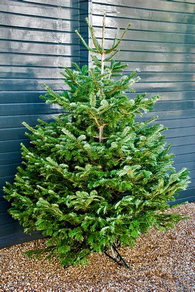 Different Types of Fir Christmas Trees