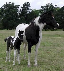 Painted Horse   RANCH   PAINT HORSES FOR SALE   BLACK ...