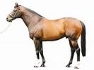 HOLY ROMAN EMPEROR - Stallion   Breednet