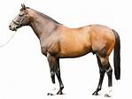HOLY ROMAN EMPEROR - Stallion | Breednet