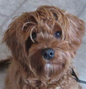 medium mellow non shedding dogs dog breeds picture