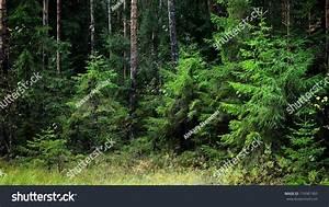 Sunbeam Dark Pine Forest Scene Stock Photo 174381965 ...