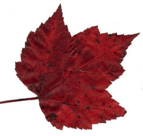 types of maple leaves with pictures maple tree getting to know canada