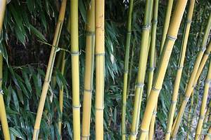 Bambus Vernichten Tipps : bambus fargesien phyllostachys pleioblastus immergr ner sichtschutz im pflanzenshop kaufen ~ Whattoseeinmadrid.com Haus und Dekorationen