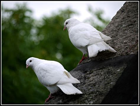 pure white doves come to visit animals and wildlife