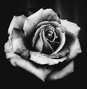 Photos  Roses Black And White