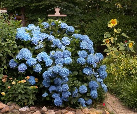 how do you prune hydrangea bushes related keywords suggestions for hydrangea plant care