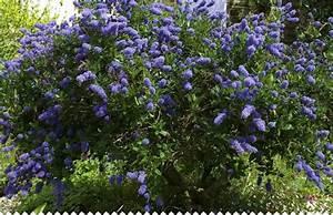 Arbre à Croissance Rapide Pour Ombre : c anothe ceanothus r ussir la plantation et l 39 entretien ~ Premium-room.com Idées de Décoration