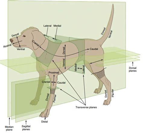 anatomical terms  dogs maurivet
