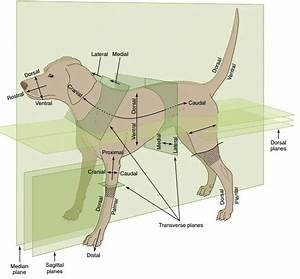 Anatomical Terms In Dogs
