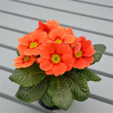 Primula Plants Ringo Star Orange Red All Flower Plants