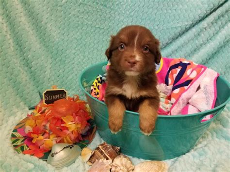 rose dog dogs they under well aussies shamrock ring them loved stormy puppies pet parks want