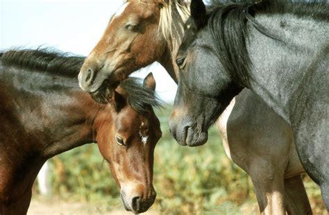 horses sleeping horse sleep facts standing habits sun three napping head guide frps valla daniel getty interesting
