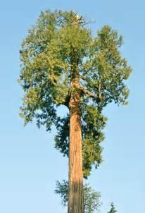 woodwork western cedar trees pdf plans