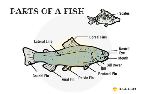 Parts Of A Fish Vocabulary In English (with Picture)  7 E S L