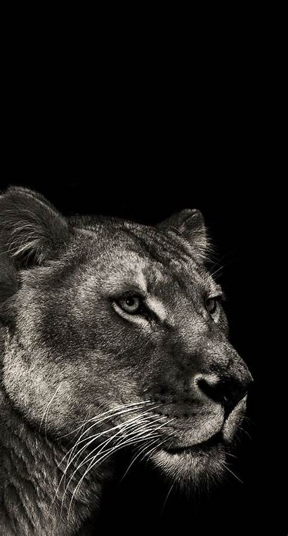 Lioness Lion Wallpapers Tattoo Female Iphone Lions