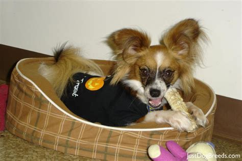 Dogs That Dont Shed Papillon by Do Papillon Dogs Shed 33 Free Hd Wallpaper