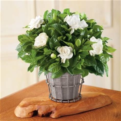 growing gardenias in pots gardenia tree care and how to