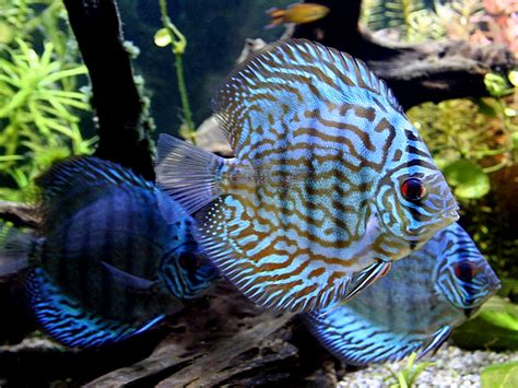 blue turquoise discus aquarium hobbyist resource