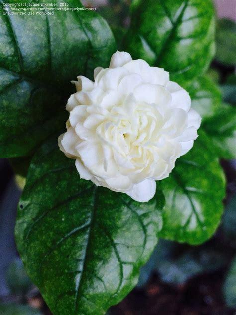 plantfiles pictures jasminum asiatic jasmine pikake