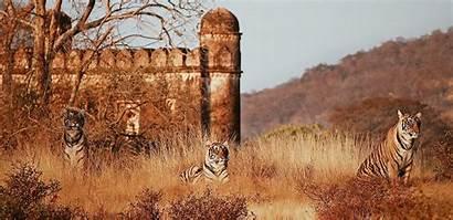 Ranthambore Park National Sher Hotels Bagh Tiger