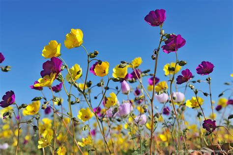 flowers that bloom at atacama desert flowers photo gallery of endemic flora of north chile