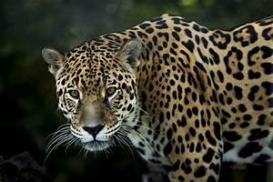 Life in 360°: Panthera Onca – VRFocus  Jaguar
