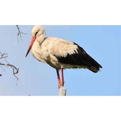 White Stork Birds - Facts Diet & Habitat Information