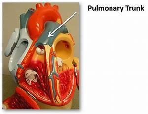 Pulmonary trunk - The Anatomy of the Heart Visual Atlas ...