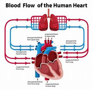 Chart Showing Blood Flow Of Human Heart Stock Vector