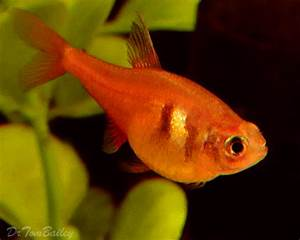 Orange Tetra Fish