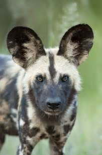 African Wild Dogs in South Africa Kruger National Park