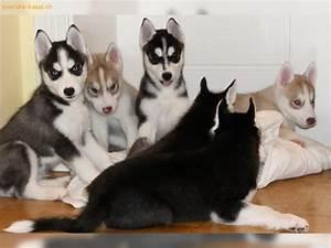 Husky Zu Verkaufen : inserate basel anzeigen hunde sibirische husky welpen zu verkaufen ~ Orissabook.com Haus und Dekorationen