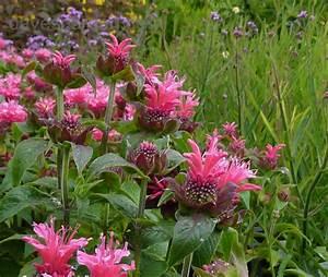 PlantFiles Pictures: Monarda, Bee Balm, Beebalm, Bergamot ...
