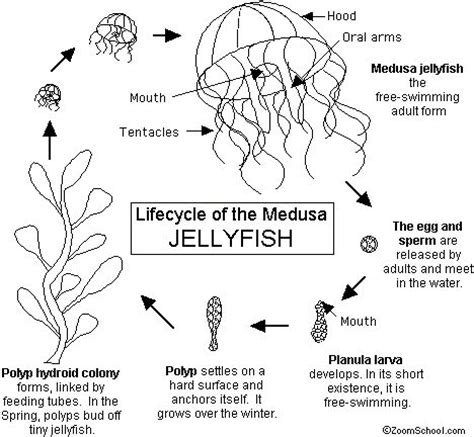 lifecycle   jellyfish  life cycle  complete