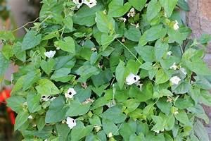 Immergrüne Kletterpflanze Winterhart : schwarz ugige susanne richtig berwintern ist die pflanze winterhart ~ Yasmunasinghe.com Haus und Dekorationen