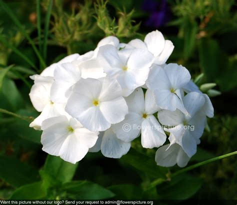white garden flowers white garden phlox phlox paniculata white admiral