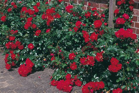 Rosenbeet Anlegen Beispiele rosenbeet anlegen gartentr 228 ume