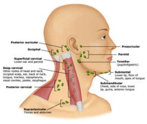 The Lymphatic Immune System Part 4
