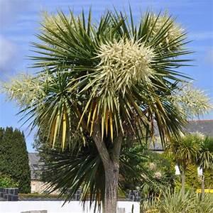 Arbres Fruitiers Nains En Pleine Terre : cordyline australe plantes et jardins ~ Premium-room.com Idées de Décoration