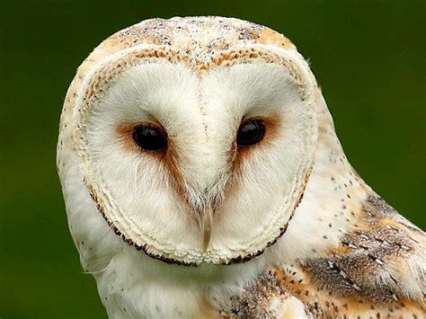 barn owl facts barn owl facts for barn owl diet habitat