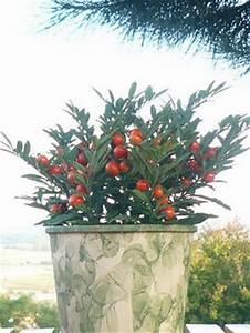 Quand Planter Un Pommier : le solanum ou pommier d 39 amour le pouvoir des fleurs ~ Dallasstarsshop.com Idées de Décoration