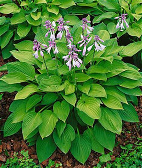Plant Profile for, hosta fortunei hyacinthina - hosta perennial