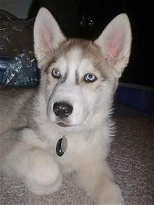 husky wolf mix | ... old wolf hybrid named Tukai is 25% ...