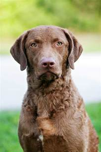 chesapeake bay retriever dog breed 187 everything about