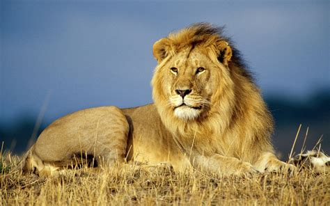 great wallpapers  lion animals