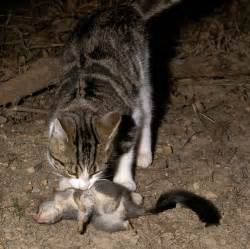 ferrel cats national feral cat management survey conservation
